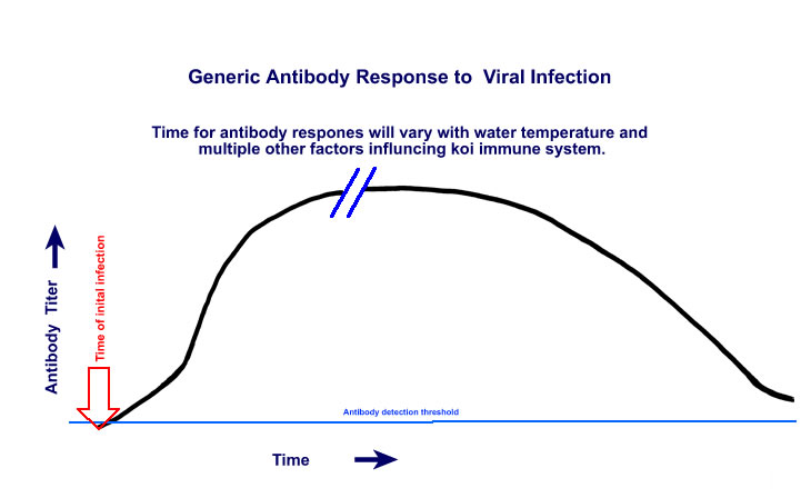 Antibody formation in response to viral infection