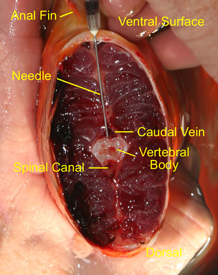 Enlarged and labeled illustraton of caudal vein for venipuncture